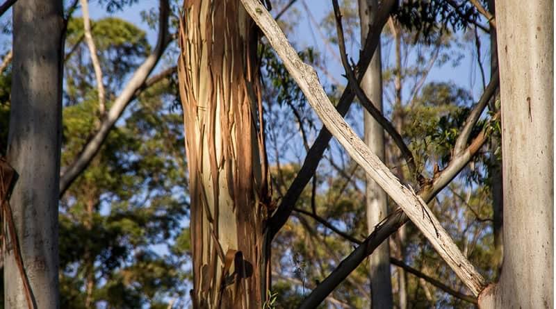 bark on gum tree